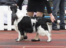 English Springer Spaniel in Tallinn.JPG