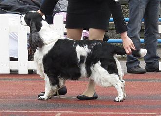 English Springer Spaniel - Image: English Springer Spaniel in Tallinn