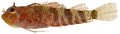 Enneanectes altivelis - pone.0010676.g138.png
