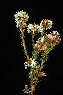 <i>Epacris lanuginosa</i> Species of flowering plant