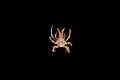 Epialtidae (MNHN-IU-2013-1682).jpeg