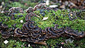Epping Forest High Beach Essex England - Fungi and moss 2.jpg