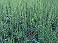 Equisetum fluviatile Oulu, Finland 01.06.2013.jpg