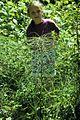 Equisetum telmateia (5283301153).jpg