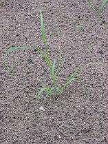 Eragrostis tef young plant.jpg