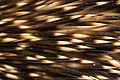 Erinaceus europaeus spines.jpg