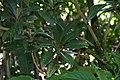 Eriobotrya japonica 6zz.jpg