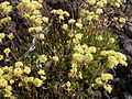 Eriogonum umbellatum majus (4394281728).jpg