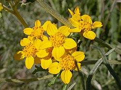 definition of eriophyllum