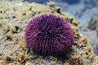Erizo de mar violáceo (Sphaerechinus granularis), Madeira, Portugal, 2019-05-31, DD 36.jpg