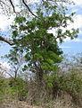Erythrina - tree (6531618739).jpg