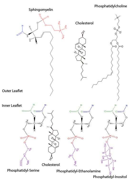 Erythrocyte Membrane lipids