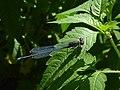 Erythromma viridulum Terlago 02.jpg