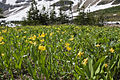 Erythronium grandiflorum - Flickr 004.jpg