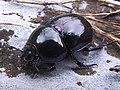 Escarabajo pelotero - Dung beetle (9176407353).jpg