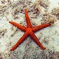 Estrella roja del Mediterráneo (Echinaster sepositus), Parque natural de la Arrábida, Portugal, 2020-07-31, DD 79.jpg