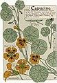 Etude de la plante - p.87 fig.114 - Capucine.jpg