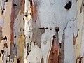Eucalyptus camaldulensis bark two trees.jpg