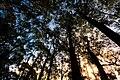 Eucalyptus coccifera Silhouettes 2.jpg