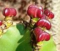 Euphorbia cooperi, vrugte, Pretoria.jpg