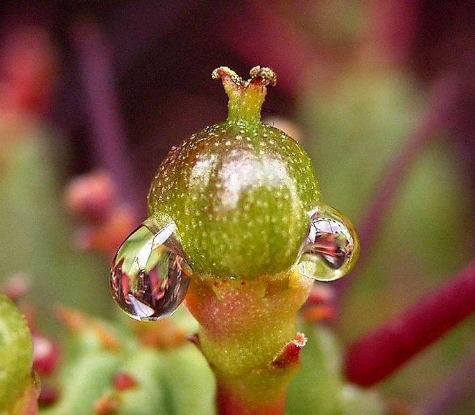 File:Euphorbia enopla7 ies.jpg