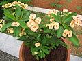 Euphorbia milii - യൂഫോർബിയ 01.JPG