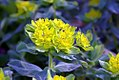 Euphorbia polychroma 1zz.jpg