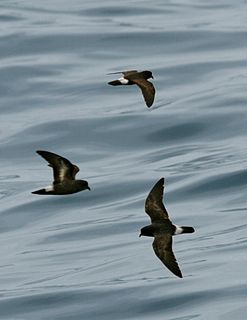 Northern storm petrel family of birds