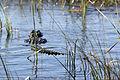 Everglades, Miami (8252370501).jpg