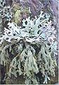 Evernia furfuraceae.jpg