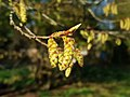 Fagales - Corylus avellana - 8.jpg