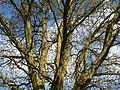 Fagales - Quercus robur - 002.jpg