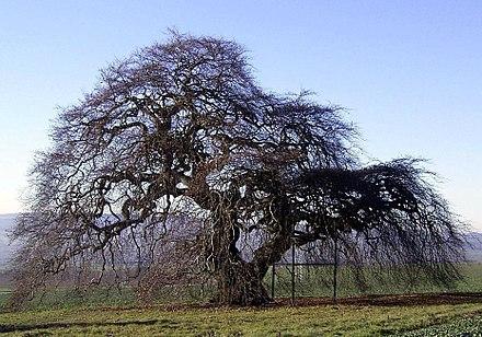 дерево бук в чехии