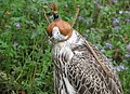 Falke mit Kappe.jpg