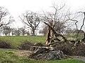 Fallen beech, Minto Golf Club - geograph.org.uk - 914521.jpg