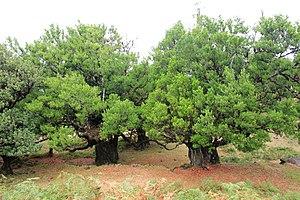 Laurus - Very old laurel trees on Madeira island
