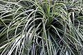 Fascicularia bicolor in Tropengewächshäuser des Botanischen Gartens 02.jpg