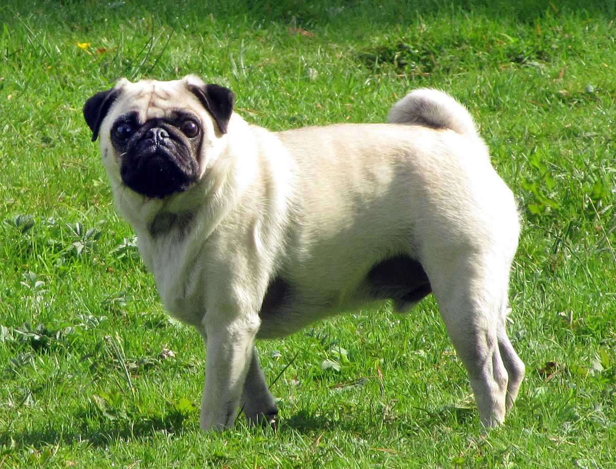Pug - Simple English Wikipedia, the free encyclopedia