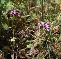 Fedia cornucopiae 1.jpg