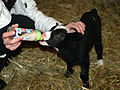 Feeding black lamb.jpg