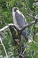 Female Peregrine Falcon, Missisquoi NWR (7345839808).jpg