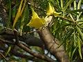 Female Purple Sunbird on a Yellow Oleander Tree.jpg