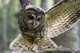 Female Spotted Owl (14412489519).jpg