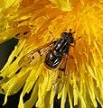 Ferdinandea cuprea (female).jpg