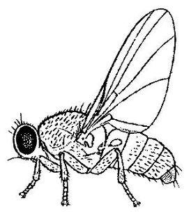 <i>Fergusonina</i> genus of insects