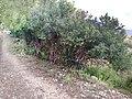 Fesols moros (Anagyris foetida) resguardando los cultivos Canèssia Lorcha (Vall de Perputxent).jpg