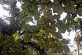 Ficus auriculata 13zz.jpg