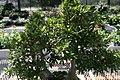 Ficus neriifolia 13zz.jpg