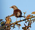 Fieldfare. Turdus pilaris. - Flickr - gailhampshire.jpg