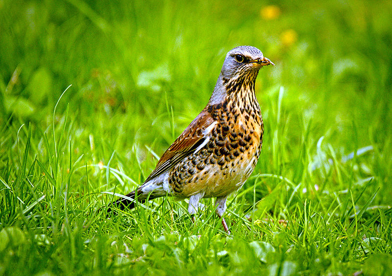 File:Fieldfare (16689957113).jpg